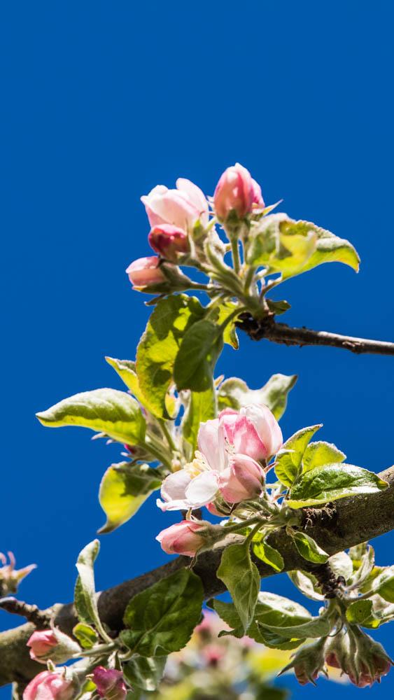 Apfelblüte_006